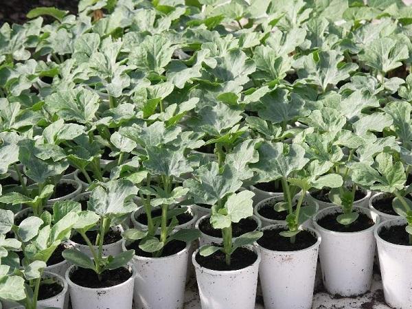 Как в теплице вырастить арбуз