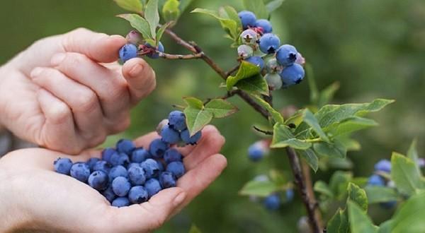 Чем полезна для организма ягода голубика