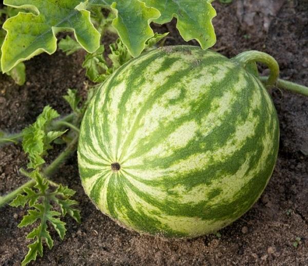 Арбуз: фото как выглядит ягода
