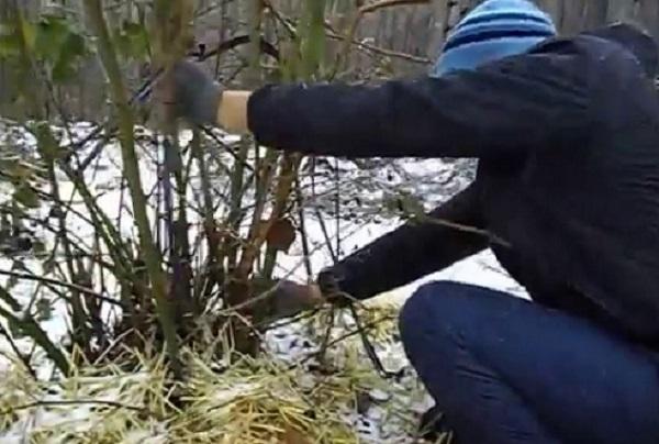 Уход за ежевикой осенью и укрытие куста на зиму от морозов