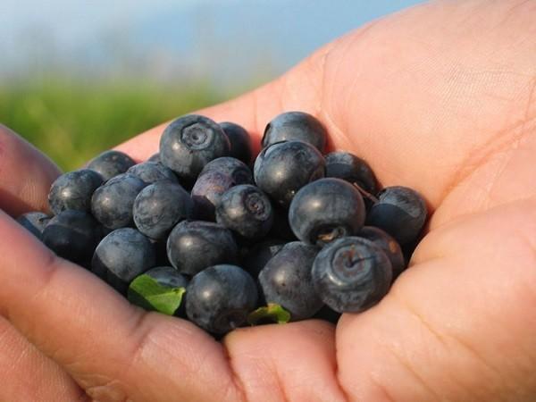 Чем полезна ягода черника для организма