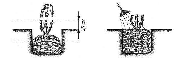 Описание сорта ежевики Блек Сатин - посадка, обрезка и уход