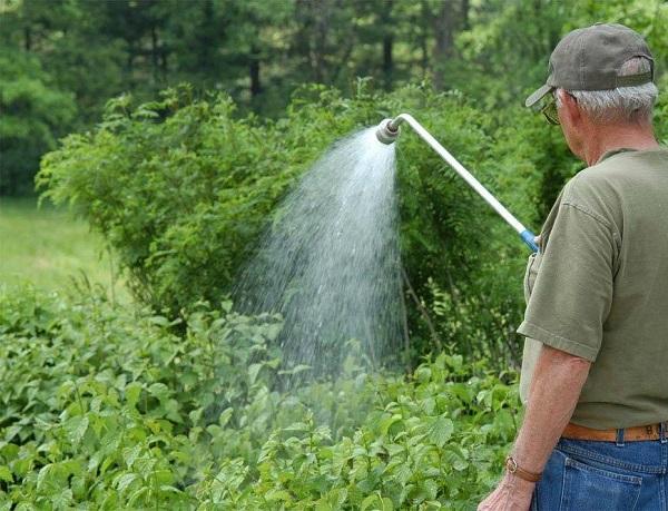 Как правильно посадить чернику и уход за растением