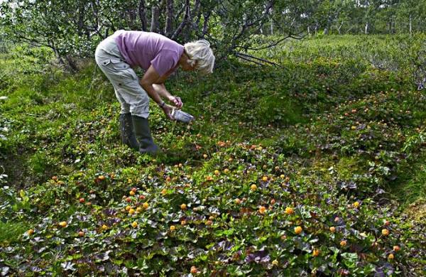 Как собирать ягоды