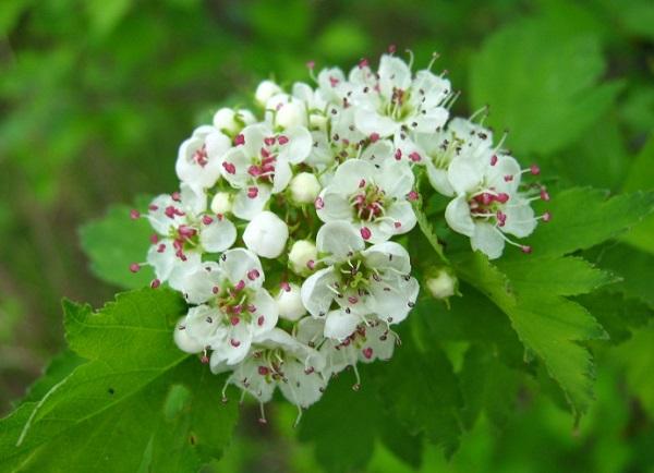 Цветы целебного кустарника