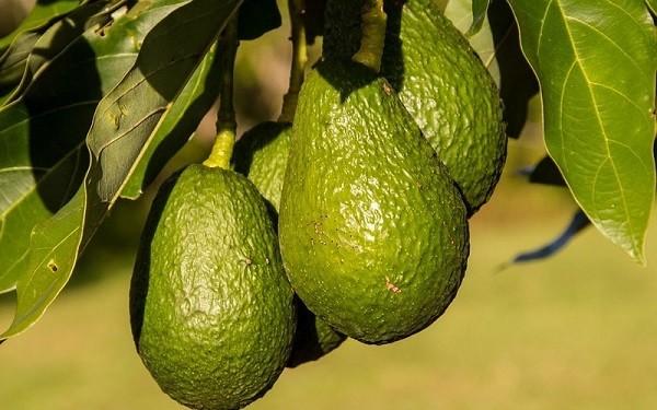 Авокадо фрукт или овощ
