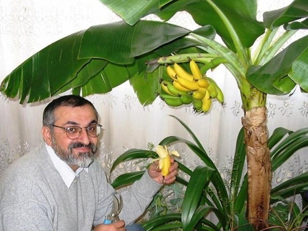 Бананы в квартире