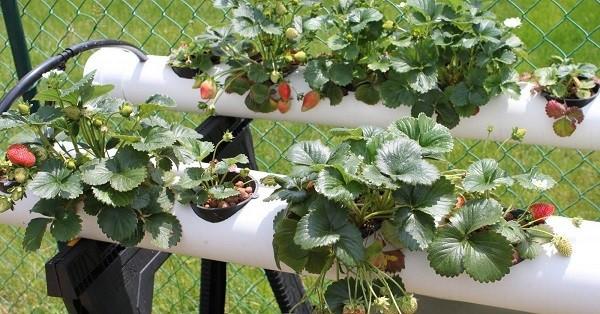 Выращивание клубники в трубах