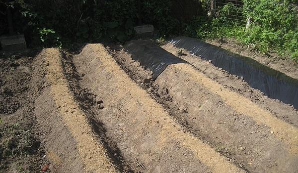 Выращивание клубники в открытом грунте