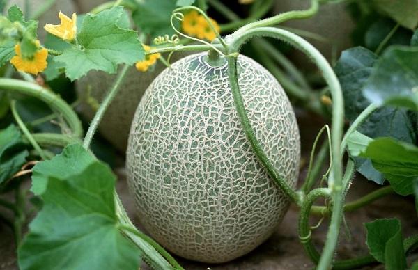 Как растет дыня