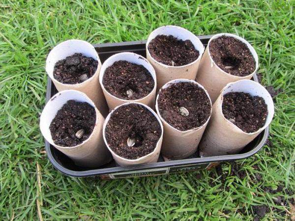 Особенности сорта дыни Эфиопка - фото, выращивание рассады и уход в открытом грунте
