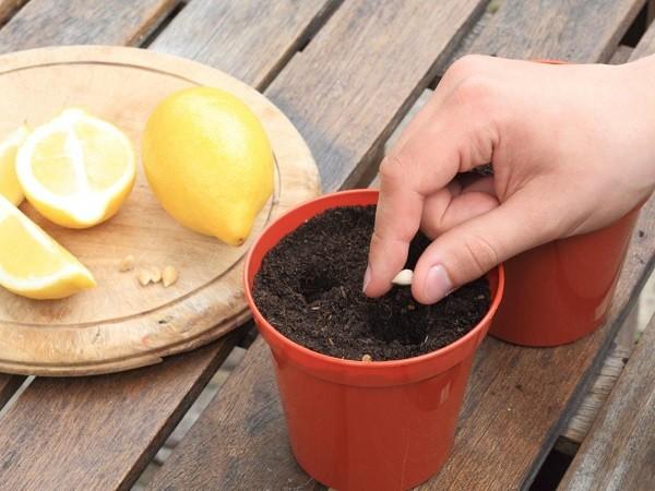 Вырастить лимон из косточки