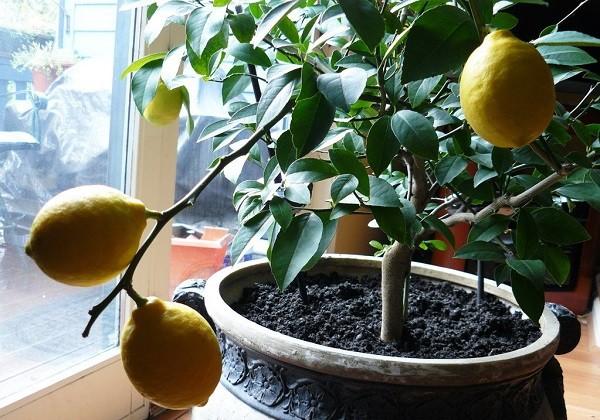 Описание лимона