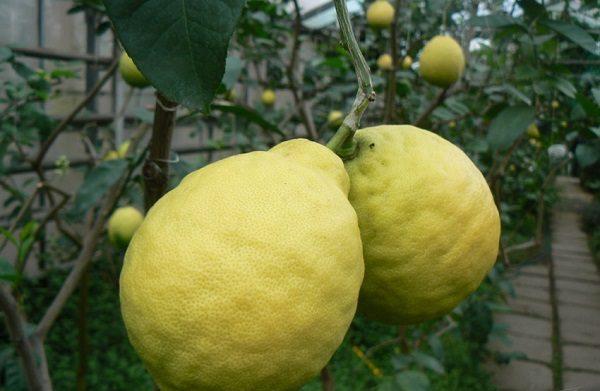 Какие плоды