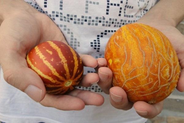 Вьетнамская дыня как выглядит