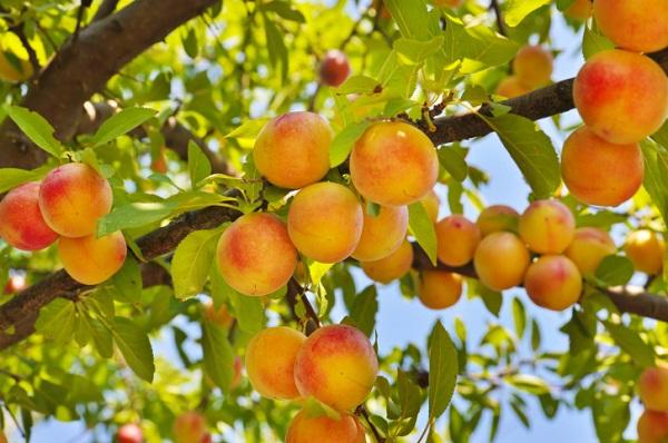 Персик польза