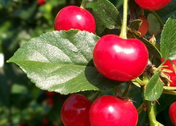Вишня это ягода или фрукт