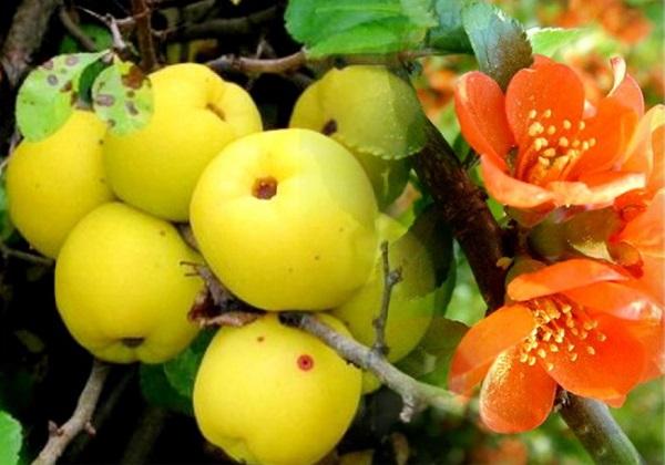 Японская айва плоды