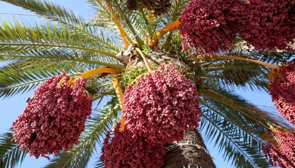 Плоды финикового дерева