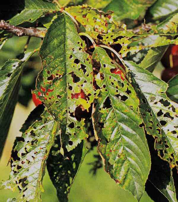 Вишня болезни листвы