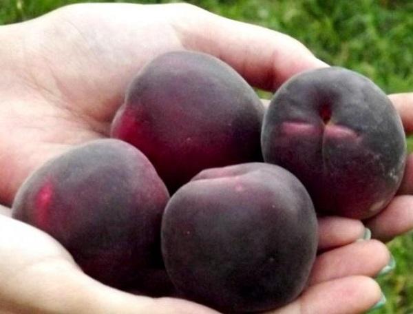 Черные абрикосы