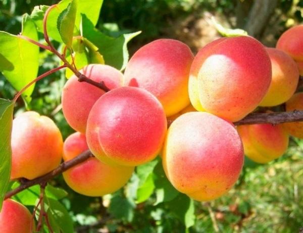 Плоды сухие, крупные