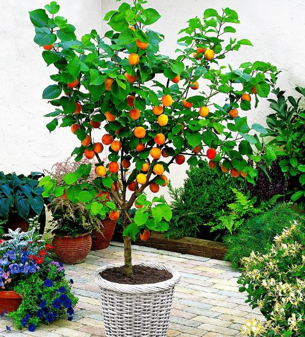Вырастить саженец абрикоса