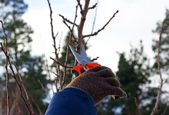 Обрезка молодого абрикоса