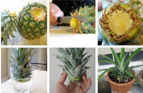 Как вырастить ананас 7