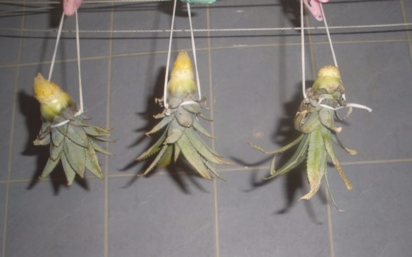 Как вырастить ананас 1