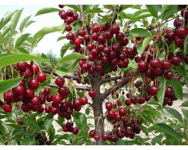 Плоды ярко-красного цвета