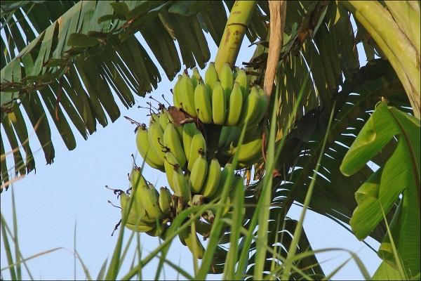 Плоды созревают