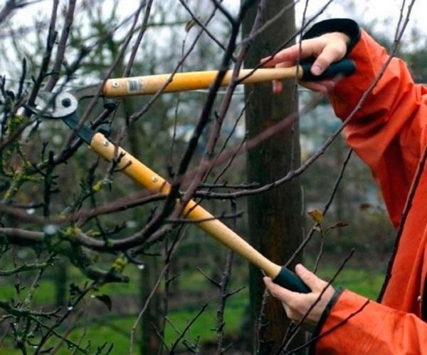 Зачем обрезать тутовое дерево