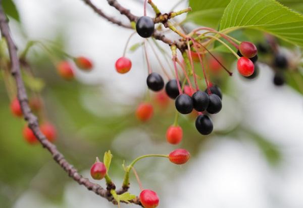 Родина японской вишни является Япония