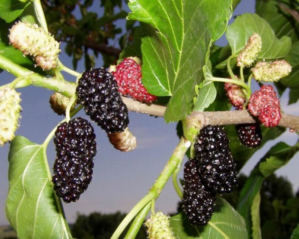 Выращивание шелковицы и полезно и вкусно