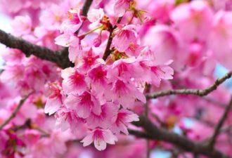 Сакура относится к семейству розово-цветных