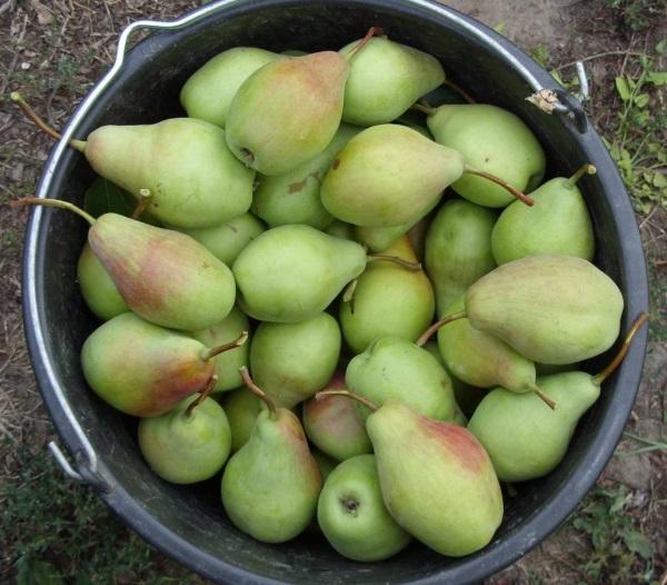 Плоды вызревают к началу сентября