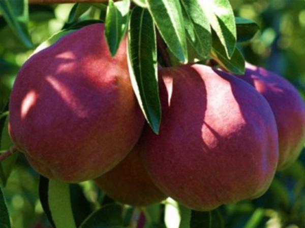 Плоды сорта средней величины