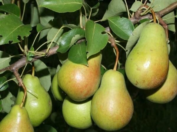 Дерево плодовитое