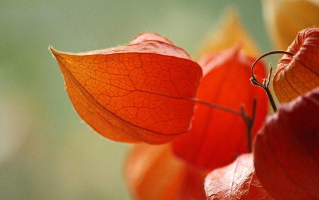 Физалис декоративный: выращивание и уход, как отличить от съедобного, применение в ландшафте, для декора